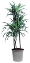 Dracaena Ulysses office plants