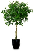 Ficus-benjamina-braided-stem-office-plant