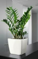 office-plants-Zamioculcas