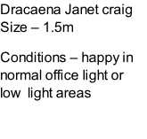 Dracaena Janet craig Size – 1.5m  Conditions – happy in normal office light or low  light areas